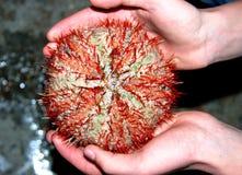 Εδώδιμος αχινός στα χέρια της Ερυθράς Θάλασσας Στοκ Φωτογραφίες