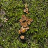 Εδώδιμο μύκητας μελιού αγαρικών μανιταριών ή mellea Armillaria, ανάπτυξη συστάδων, μακρο, εκλεκτική εστίαση, ρηχό DOF Στοκ Εικόνες