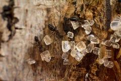 Ζάχαρη αγάπης μυρμηγκιών Στοκ Φωτογραφία