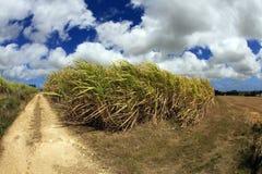 ζάχαρη πεδίων καλάμων των Μπ&al Στοκ φωτογραφία με δικαίωμα ελεύθερης χρήσης