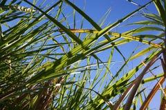ζάχαρη πεδίων καλλιέργειας καλάμων Στοκ Εικόνες