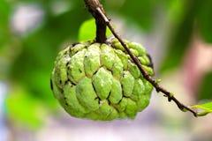 Ζάχαρη Apple & x28 μήλο κρέμας, Annona, sweetsop& x29  Στοκ εικόνες με δικαίωμα ελεύθερης χρήσης