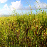 ζάχαρη Kitts Άγιος πεδίων καλάμ&o Στοκ φωτογραφίες με δικαίωμα ελεύθερης χρήσης