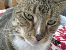 ζάλη γατών τιγρέ Στοκ φωτογραφίες με δικαίωμα ελεύθερης χρήσης