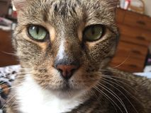 ζάλη γατών τιγρέ Στοκ φωτογραφία με δικαίωμα ελεύθερης χρήσης