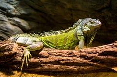 Ζάλη πράσινο Iguana Στοκ εικόνα με δικαίωμα ελεύθερης χρήσης