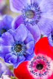 Ζάλη Anemones Στοκ Φωτογραφίες