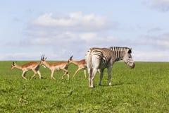 Ζέβες καλοκαίρι άγριας φύσης Buck Στοκ φωτογραφίες με δικαίωμα ελεύθερης χρήσης