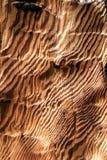 Ζέβες ξύλο Στοκ Εικόνα