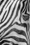 Ζέβες πρόσωπο Στοκ φωτογραφία με δικαίωμα ελεύθερης χρήσης
