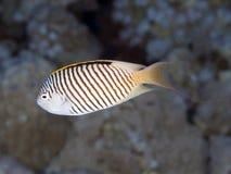 Ζέβες angelfish ψαριών κοραλλιών Στοκ Φωτογραφίες