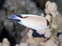 Ζέβες angelfish ψαριών κοραλλιών Στοκ φωτογραφία με δικαίωμα ελεύθερης χρήσης