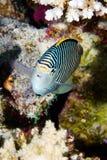 Ζέβες angelfish Στοκ φωτογραφία με δικαίωμα ελεύθερης χρήσης