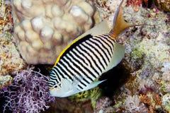 Ζέβες angelfish Στοκ εικόνα με δικαίωμα ελεύθερης χρήσης