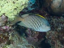 Ζέβες angelfish Στοκ εικόνες με δικαίωμα ελεύθερης χρήσης