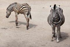 Ζέβες Equus chapmani quagga γυρολόγων ` s Στοκ φωτογραφία με δικαίωμα ελεύθερης χρήσης