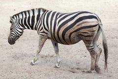 Ζέβες Equus chapmani quagga γυρολόγων ` s Στοκ Εικόνα