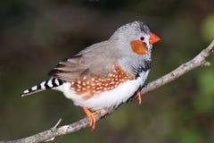 Ζέβες Finch αρσενικό στοκ φωτογραφία με δικαίωμα ελεύθερης χρήσης