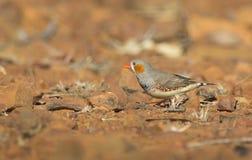 Ζέβες Finch με το ξηρά κόκκινα υπόβαθρο ερήμων και το διάστημα αντιγράφων στοκ φωτογραφίες