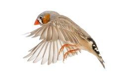 Ζέβες Finch που πετά, guttata Taeniopygia στοκ εικόνα