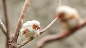 Ζέβες Finch φιλμ μικρού μήκους