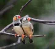 Ζέβες Finch στοκ εικόνα με δικαίωμα ελεύθερης χρήσης