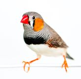 Ζέβες Finch Στοκ εικόνες με δικαίωμα ελεύθερης χρήσης