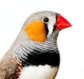 Ζέβες Finch Στοκ φωτογραφία με δικαίωμα ελεύθερης χρήσης