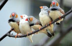 Ζέβες Finch Στοκ Εικόνες
