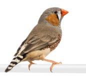 Ζέβες Finch, guttata Taeniopygia στοκ φωτογραφία με δικαίωμα ελεύθερης χρήσης