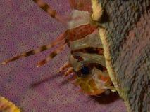 Ζέβες Lionfish Στοκ φωτογραφία με δικαίωμα ελεύθερης χρήσης