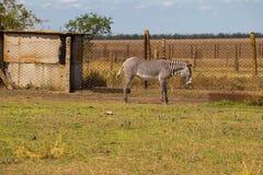Ζέβες quagga Equus πεδιάδων Στοκ Εικόνα