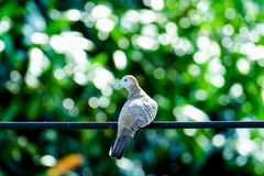 Ζέβες striata Geopelia περιστεριών, πουλί, στο καλώδιο Στοκ Φωτογραφία