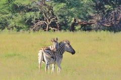 Ζέβρα αγάπη - υπόβαθρο άγριας φύσης από την Αφρική - ριγωτή συγκίνηση Στοκ Εικόνα