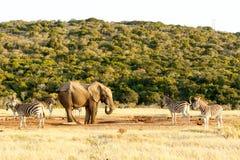 Ζέβρα αναμονή στο ποτό με έναν αφρικανικό ελέφαντα του Μπους με τον τρόπο Στοκ φωτογραφία με δικαίωμα ελεύθερης χρήσης