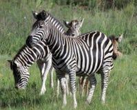 Ζέβρα βοσκή στη Νότια Αφρική στοκ φωτογραφίες