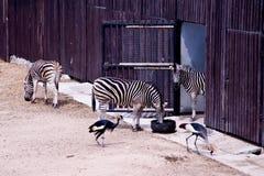 ζέβρα ζωολογικός κήπος Στοκ Εικόνα