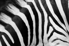 Ζέβρα κινηματογράφηση σε πρώτο πλάνο σχεδίων. Γραπτά λωρίδες Στοκ Εικόνες