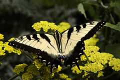 Ζέβρα πεταλούδα Swallowtail στοκ εικόνες