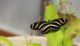 Ζέβρα πεταλούδα Longwing Στοκ φωτογραφία με δικαίωμα ελεύθερης χρήσης