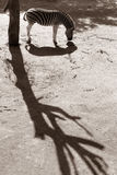 ζέβρα Στοκ Φωτογραφίες