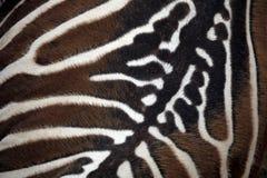 Ζέβρα (borensis quagga Equus) σύσταση δερμάτων Maneless Στοκ φωτογραφία με δικαίωμα ελεύθερης χρήσης