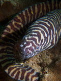 Ζέβρα moray στοκ φωτογραφία με δικαίωμα ελεύθερης χρήσης