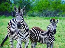 Ζέβρ μητέρα και foal στο εθνικό πάρκο Kruger στοκ εικόνες