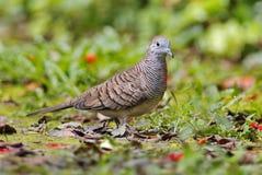 Ζέβρ χαριτωμένα αρσενικά πουλιά striata Geopelia περιστεριών της Ταϊλάνδης Στοκ φωτογραφία με δικαίωμα ελεύθερης χρήσης