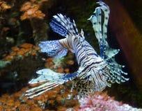 Ζέβρ ψάρια Στοκ εικόνα με δικαίωμα ελεύθερης χρήσης