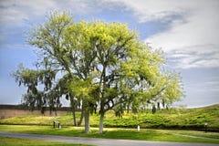 ζήστε δρύινο δέντρο Στοκ Εικόνα