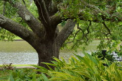 Ζήστε δρύινο δέντρο στη Λουιζιάνα Στοκ φωτογραφίες με δικαίωμα ελεύθερης χρήσης