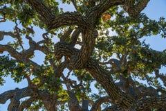 Ζήστε δρύινο δέντρο Στοκ εικόνα με δικαίωμα ελεύθερης χρήσης