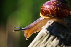 Ζήστε σπειροειδές σαλιγκάρι σε μια ξύλινη επιφάνεια κοιτάζοντας κάτω Στοκ εικόνα με δικαίωμα ελεύθερης χρήσης